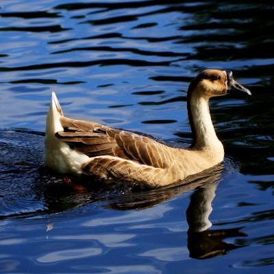 Horn Billed Goose